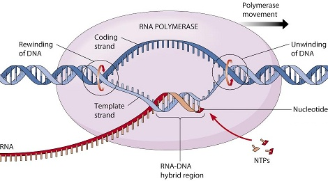 rna-polymerase-dna-transcription-470.jpg
